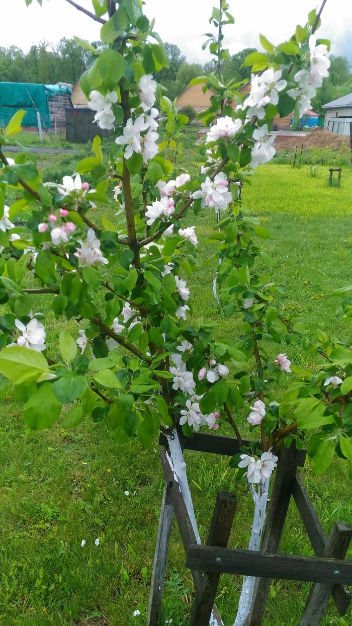 Яблоня цветет
